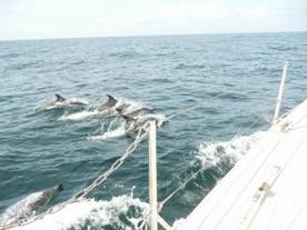 Dolphins in Carmarthan Bay